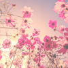 attie: Pink flowers in the sunset. (justpretty - more pink flowers)