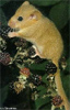 ruthi: a photograph of a dormouse eating a berry (dormouse)