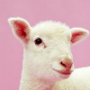 sraun: Sheep Head - used for memes (meme)