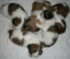 sraun: Mac's puppies piled up and sleeping (puppy pile, cute)