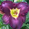 sraun: daylily (garden)