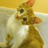 yourlibrarian: Inquiring Kitty (NAT-InquiringKitty-americangrl69)
