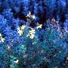 wenelda: (Flowers blue)