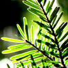 corvus: Fir needles (Default)