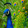 meloukhia: A peacock, looking a tad smug, tail fanned out. (Peacock)