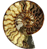 alyse: (ammonite)