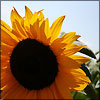 alyse: (nature - sunflower)