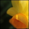 calissa: Macro of a jonquil (Spring)