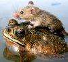the_shoshanna: a mouse rides a frog in monsoon waters, India, July 2006 (frog saves mouse from drowning)