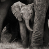 elrhiarhodan: (Animal - Elephant BW)
