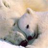 rhienelleth: (polarbears - kistha)