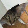 caturday: A brown tabby cat peeking out of a paper bag. (pic#834408)