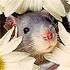 angelak: (Cute Rat)
