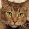 thothmes: A green-eyed Abyssinian Cat in closeup (Abyssinian Cat)