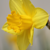 thothmes: A closeup view of a yellow daffodil in bloom (Closeup Daffodil)