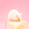whymzycal: a white mouse on a wedge of cheese (mouse on cheese)