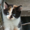 januar: calico kitten with blue eyes looking at you adorably ([misc] callie cat)