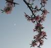 pjthompson: peach blossoms (peachmoon)