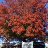 iewi: autumn tree (autumn)