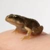 iewi: frog (animal)