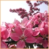 northern: Pink flowers on a tree. (summer is coming)