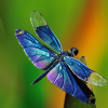 lark_ascends: Blue and purple dragonfly, green background (Sydney Harbour Bridge)
