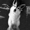 kallidice: (game of thrones [direwolf])