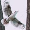 worksofstone: A grey bird in flight with its wings outspread. (graceful flight)