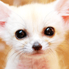 rise: fennec fox kit (babby focks)