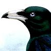 bleedingheartcrow: (Corvus woodfordi)
