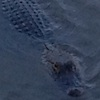 rynia: An alligator watches half-submerged in dark water. (Default)