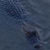 rynia: An alligator watches half-submerged in dark water. (Default)