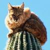 desertscribe: bobcat on a cactus (Default)