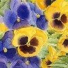 dine: (pansies - lanning)