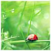 semielliptical: ladybug on a blade of grass (ladybug)