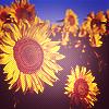 jenab: (sunflowers)