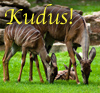 "briar_pipe: Kudus grazing with text ""kudus!"" (kudus!)"