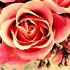 lighthawk: (Rose)