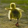 marcicat: (duckling)
