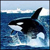 molena: (кит-убийца)