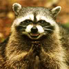 go_dog_go: An evil-looking raccoon rubbing its hands together and grinning (my evil plan is working)