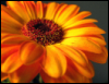 dangercupcake: orange gerbera daisy (Default)