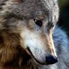 wildmage_daine: (wolf worried)