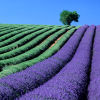 sofiaviolet: rows of lavender and an unidentified green crop (lavender fields)