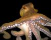 oroburos69: (Octopus)