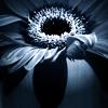 iaria: (flower)