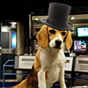 quantumvelvet: Porthos the beagle in a top hat (Mod Hat)