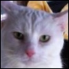 hunningham: White cat with pink nose (Charlie)