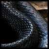 nkyinkyin: a close up of the coils and scale texture of an eastern indigo snake on a bed of dry leaves. ([1] serpent; the dragon adored)