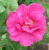 janewilliams20: Rose (garden, rose)